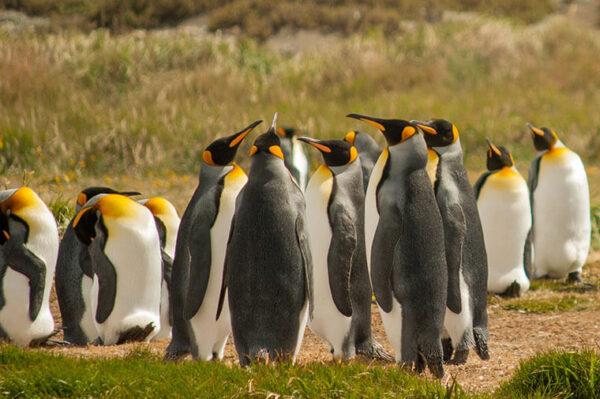 Colonia de Pinguinos Rey en Tierra del Fuego