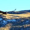 Vuelo del Cóndor en Sierra Baguales