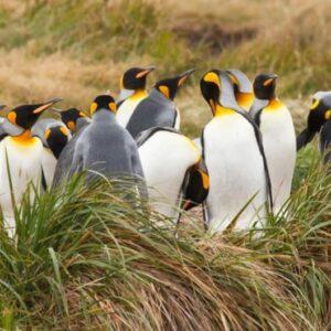 Grupo de pinguinos reyes en Tierra del Fuegoinguinos reyes en Tierra del Fuego