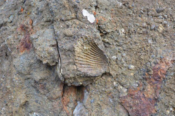 Fósil marino en Sierra Baguales