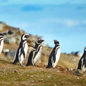Colonia de Pingüinos Magallanicos isla Magdalena