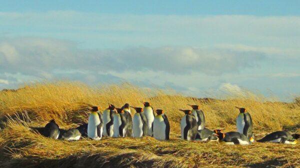 Colonia de Pingüinos Rey en Tierra del Fuego