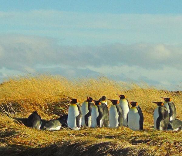 Pingüino Rey, Tierra del Fuego